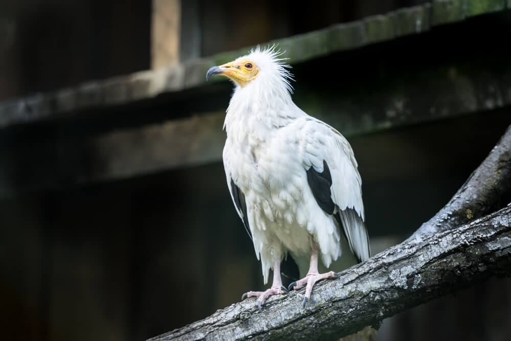 white bird with yellow face and beak on branch.