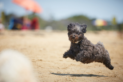 Black havanese dog running on the beach in the midday sun.