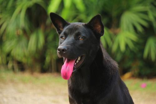 Black dog tongue out close up.