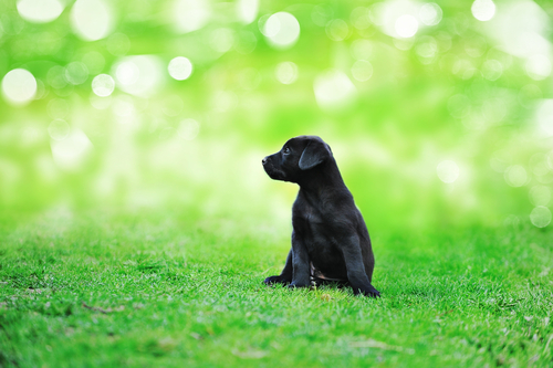 black beauty puppy on the grass in park.