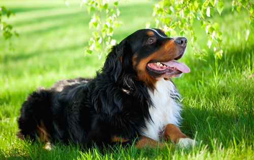 Bernese Mountain dog relaxing on green grass under the tree.