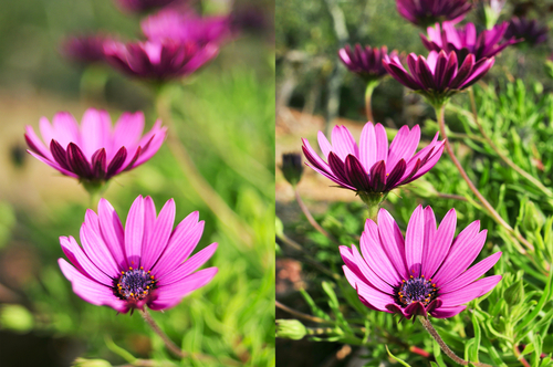 Two different photos of some purple flowers shot with different apertures.