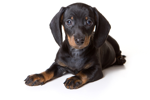 Dachshund puppy lying and looking at the camera (isolated on white).