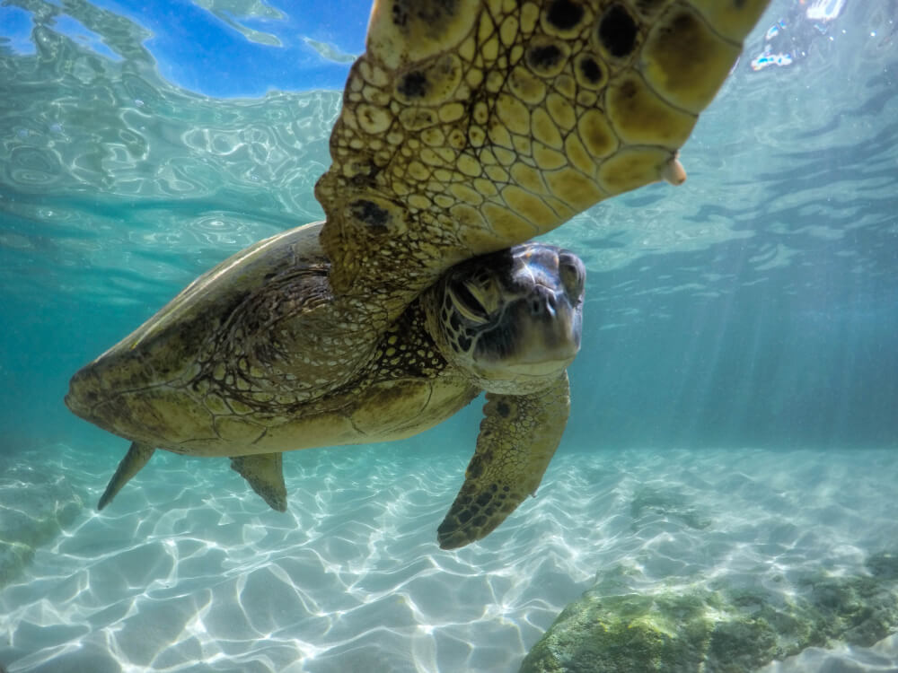 close-up underwater photo of a shy turtle.