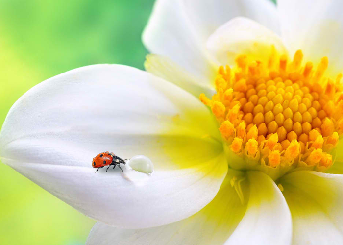 Tropical white flower with yellow stamens, ladybug and transparent drop of water on a green background macro. Colorful elegant graceful expressive image of nature, wallpaper.