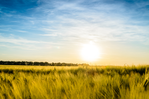 Sun rising over a field of ripening wheat with a low angle view across the crop of a fiery sun sinking towards the horizon in a hazy blue sky