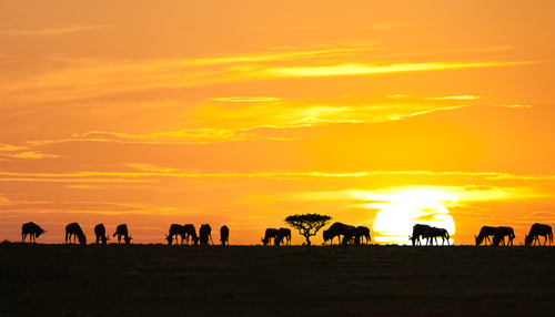 Silhouettes of wildebeests and acacia tree on sunrise in Serengeti national park, Tanzania.