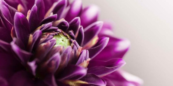 Close up image of a purple flower with light background.