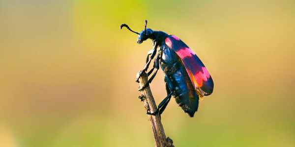 Beetles are a group of insects that form order Coleoptera, in the superorder Endopterygota. Their front pair of wings is hardened into wing-cases, elytra, distinguishing them from most other insects.