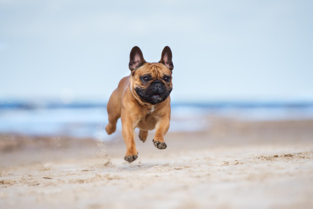 french bulldog jump mid-air on the beach