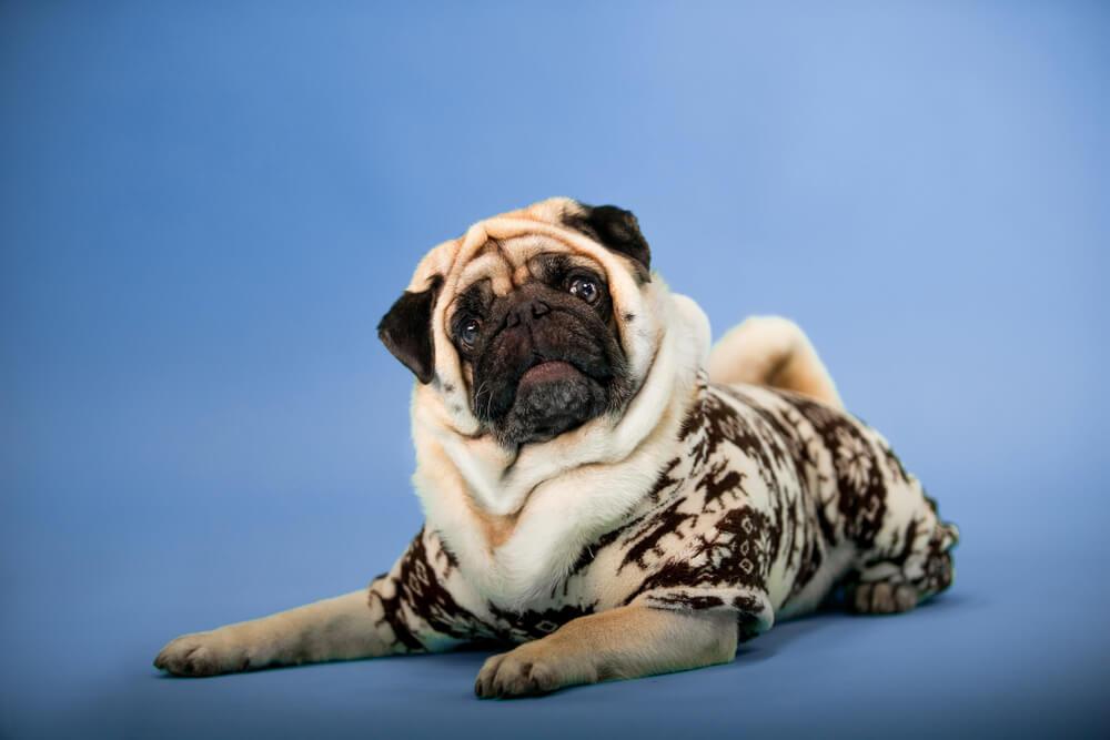 pug on photo studio - pet photos on iPhone