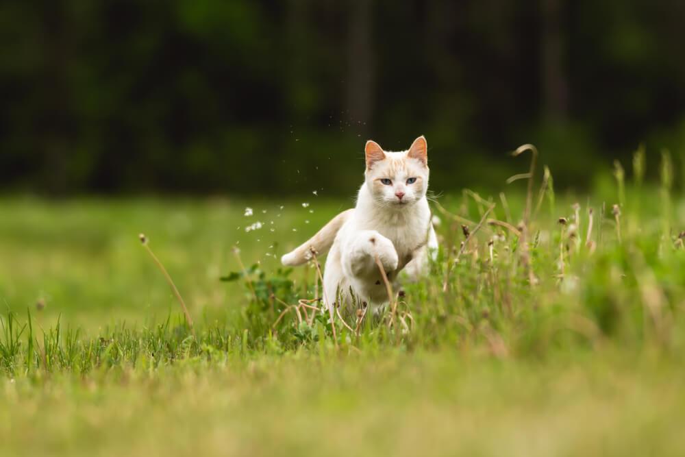 white cat jump mid-air