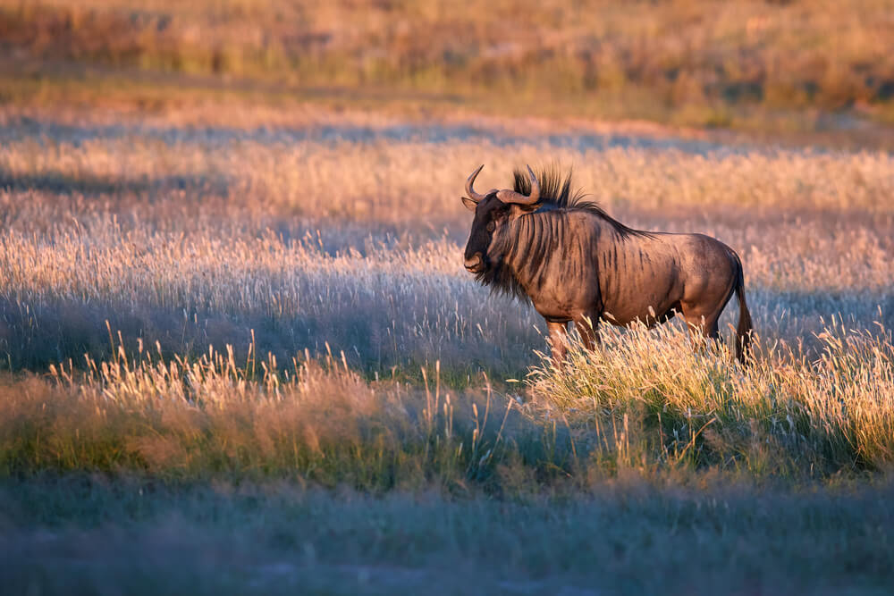 wildebeest in savanah - iPhone camera techniques